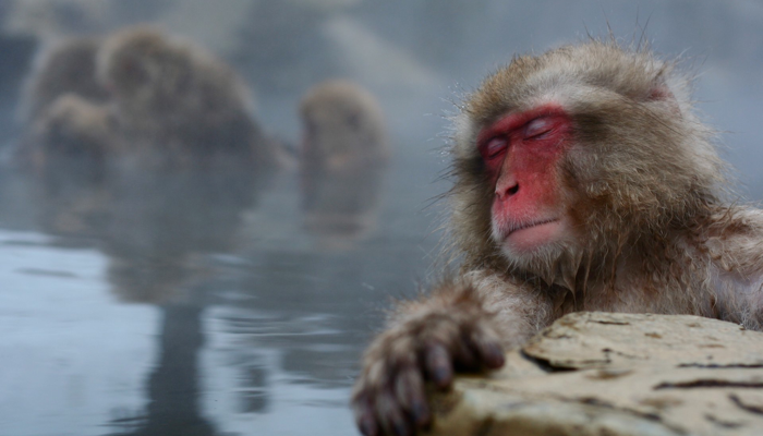 japanese snow monkey · Calgary Wedding Planners | Banff